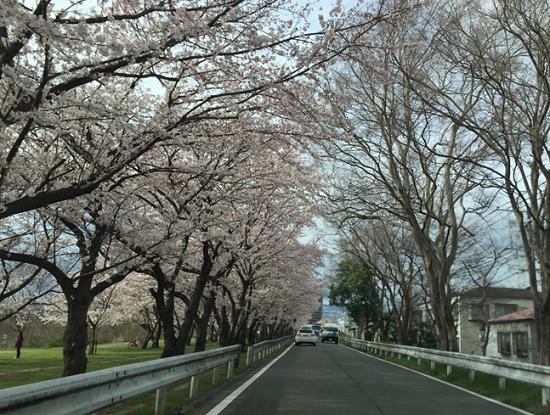 武庫川河川敷きの桜並木