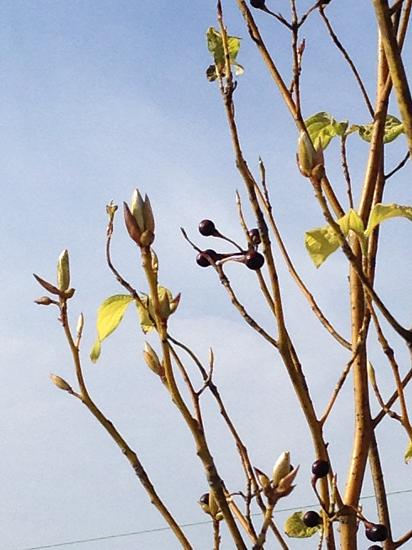 クロモジ枝