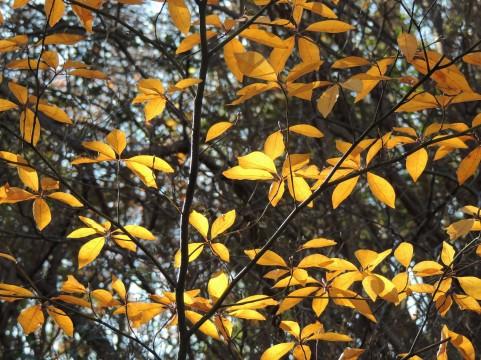 クロモジ紅葉