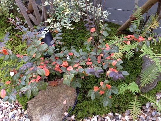 トキワマンサク紅葉