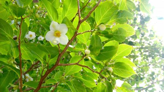 ヒメシャラ花