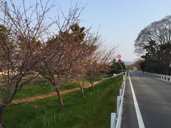 武庫川沿いの桜並木2017①