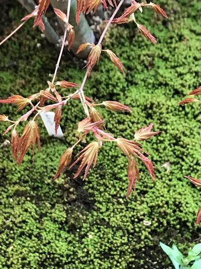 イロハモミジの芽吹き