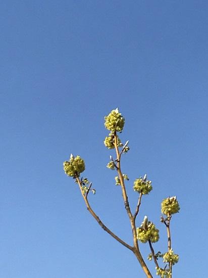 クロモジの芽吹き