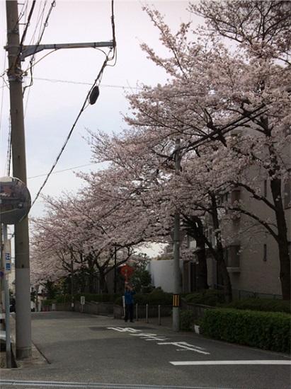 鉄筋コンクリートモデルハウス『RCギャラリー西宮』界隈の桜は見頃