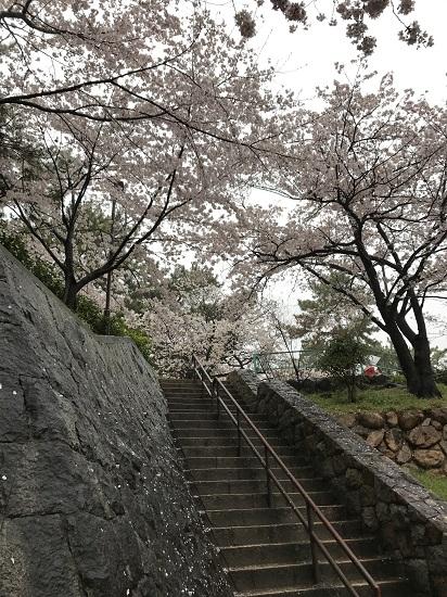 2017夙川桜①