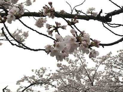 2017夙川桜②