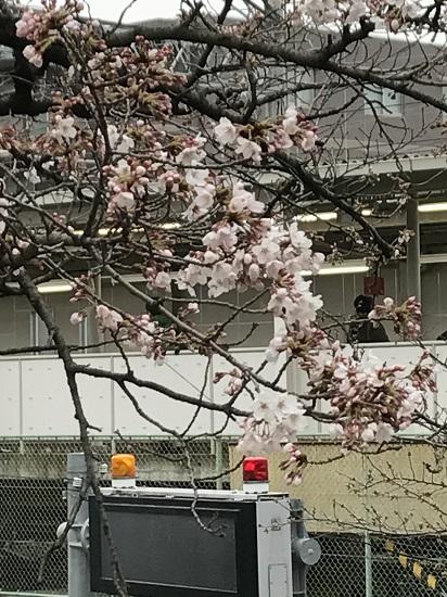 2017.4.1阪急夙川駅周辺桜②