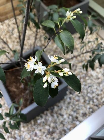 RCギャラリー西宮2F中庭 ハイノキの花