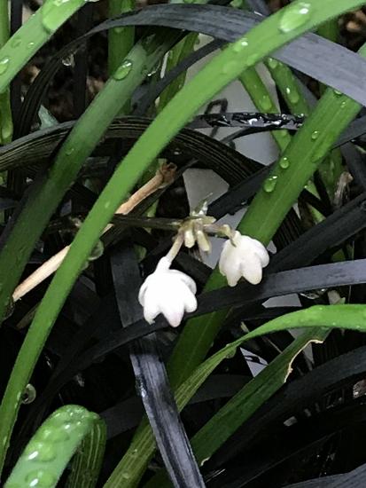 コクリュウの花