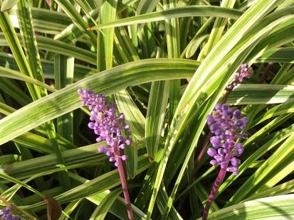 フィリヤブランの花
