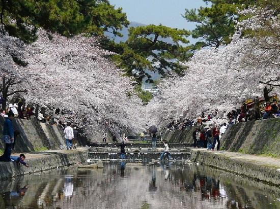 阪神間でも人気の桜の名所、夙川公園