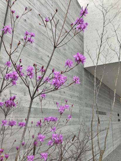 2018.3.16ハヤトミツバツツジ①
