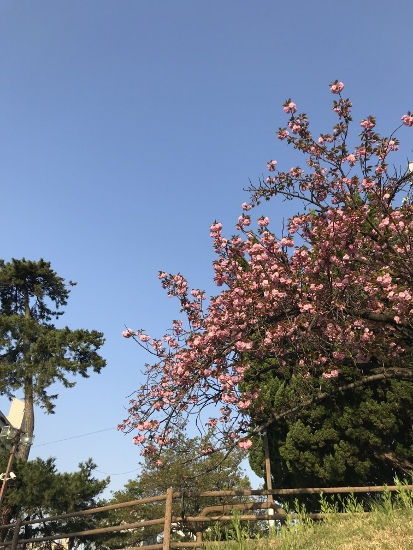 夙川駅周辺では八重桜が満開