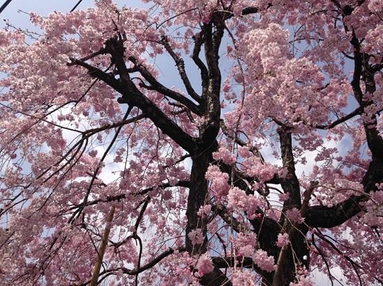 着工現場近くのお庭に、遅咲きの綺麗なしだれ桜