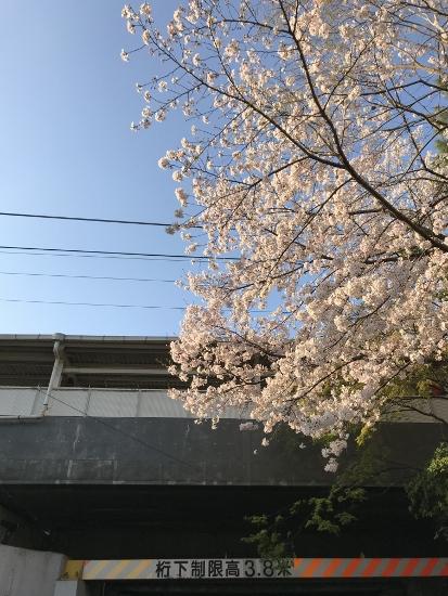 2018.3.30夙川桜②