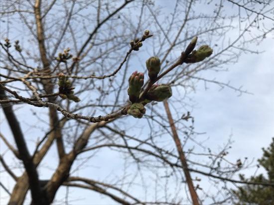 2019.3.23夙川公園桜